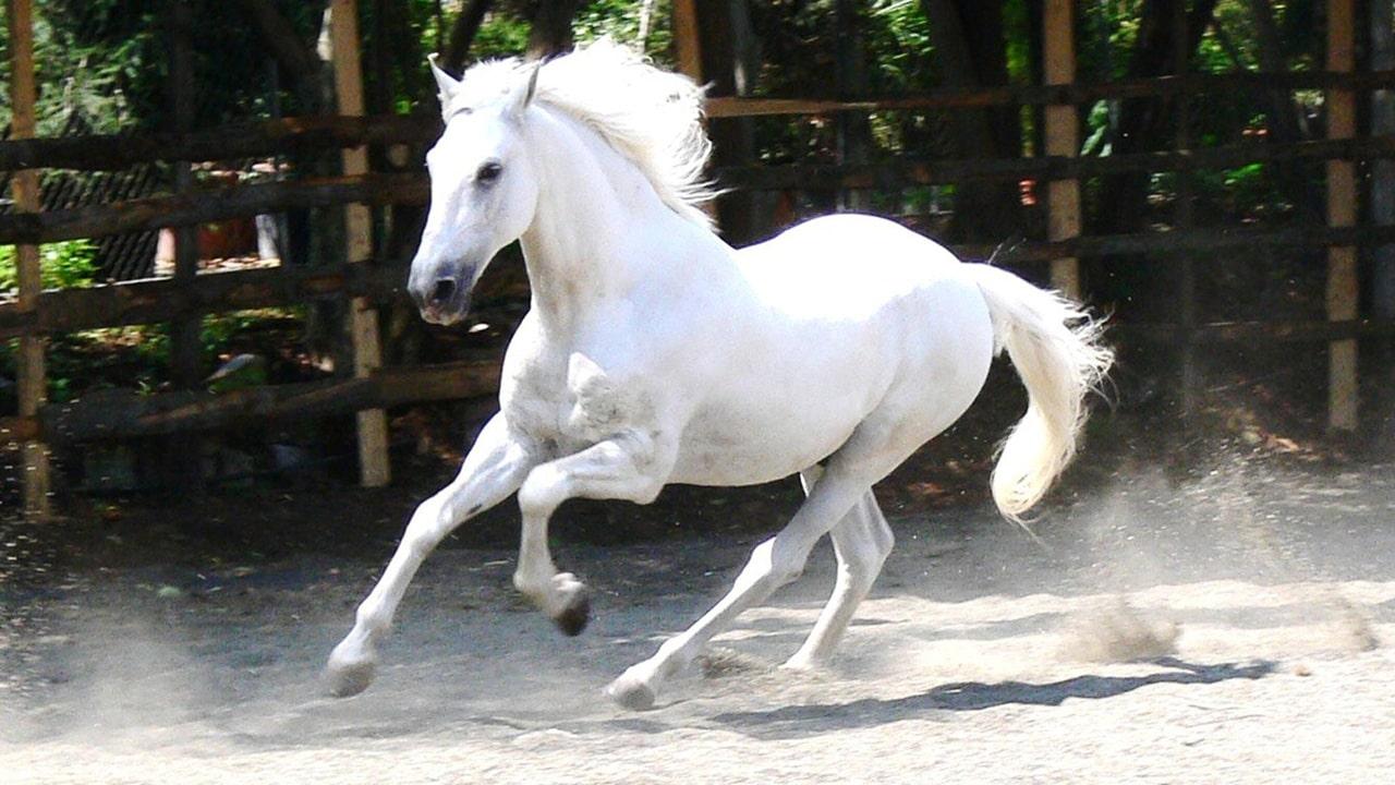 Ngựa mạ vàng 24k, Quà tặng phong thủy, độc đáo và cao cấp 2014