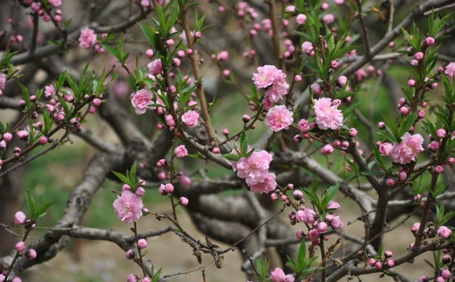 hoa đào hkoe sắc, hoa đòa, tết Giáp ngọ